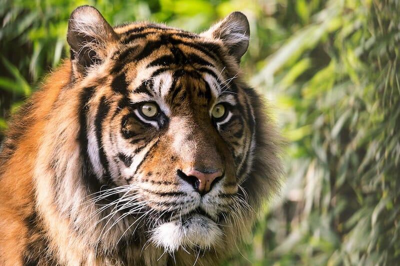 Headshot of Majestic Tiger